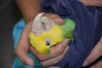 If needed, hold the towel below, around the legs and tail feathers, to avoid placing pressure on the caudal air sacs.