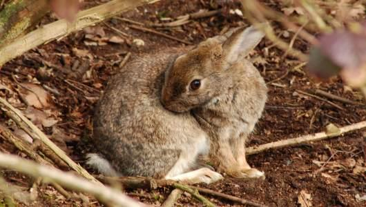 Rabbits can grow from 8 to 20 inches long. Their familiar ears can grow as long as four inches. They not only have an acute sense of hearing, but of smell and of sight.