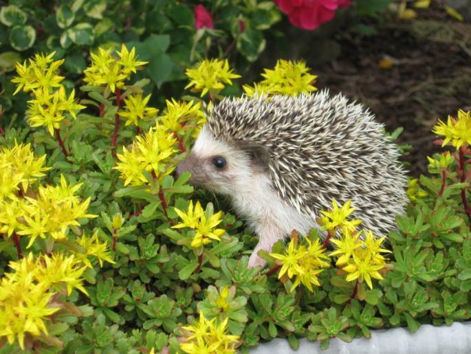 Hedgehogs are named for their foraging habits.