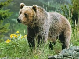 Bears are much larger animals than the others who snuggle into the mitten.