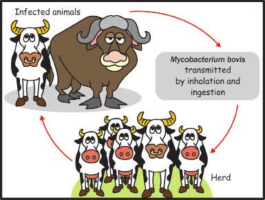 Infection can also occur through direct contact with a wound of an infected animal during slaughter or hunting, or by inhaling the bacteria exhaled by animals infected with M. bovis.