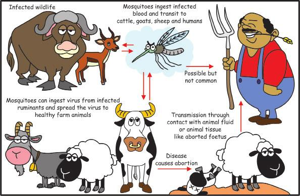 Rift Valley fever is an infectious disease transmitted from animal to human (zoonosis) and from animal to animal through mosquito bites and contact with infected animal tissue.