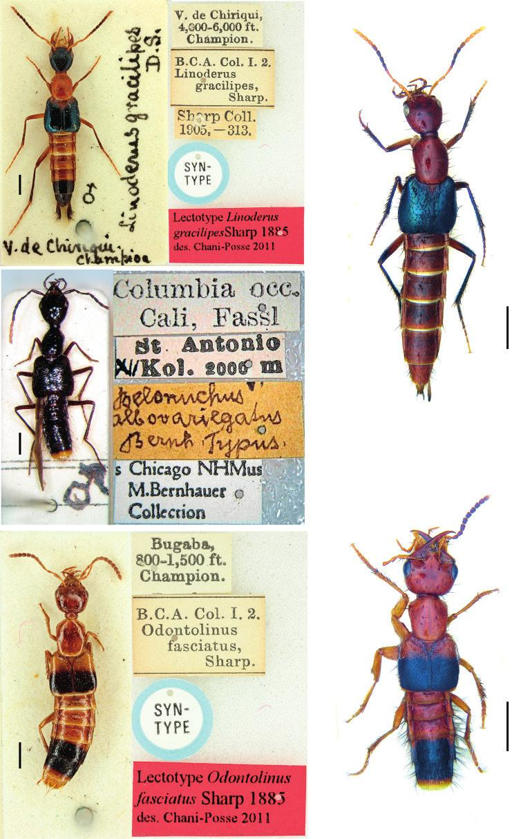 ARTHROPOD SYSTEMATICS & PHYLOGENY 75 (1) 2017 1 2 3 4 5 Figs. 1 5. Type specimens of Linoderus, Odontolinus and Belonuchus albovariegatus. (1) L. gracilipes, lectotype [BMNH ]. (2) L.