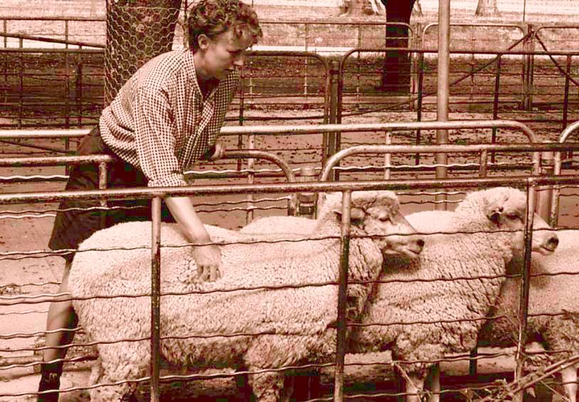 Live assessment of sheep for sale When assessing sheep for sale select those animals closest to the required carcase weight and fat score specifications.