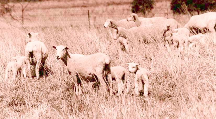 Identify sale ewes early, for this allows time to increase liveweight before marketing For ewes to recover a weight loss of 8kg or about one fat score, they will require pastures that provide at