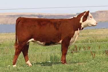 This one has a tradition of winning cattle behind her pedigree by the three time National Champion female Candy Cane. She has a great look through her front third and with extra style and balance.