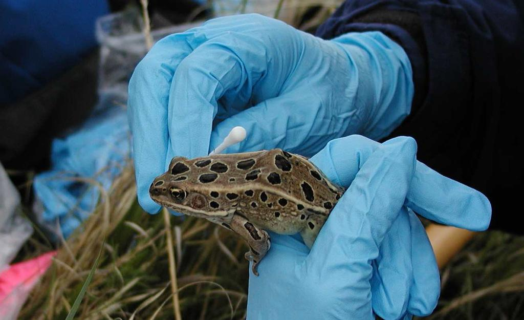 Survey results in 2005 also indicated that leopard frog populations remain small and fragmented in the province, and in some areas remain vulnerable to further declines.