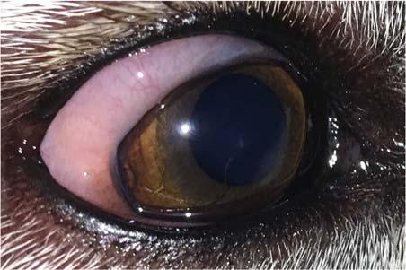 Jonathan Mochel Veterinary Scholar Focused Abstract: Conjunctivitis, or inflammation of the conjunctiva, is a common disease in dogs that has several etiologies, including dry eye