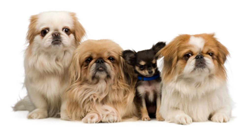 Socializing Your Pekingese Caring for a Pekingese As we mentioned before, Pekingese can be very temperamental if they are not socialized properly as a puppy.