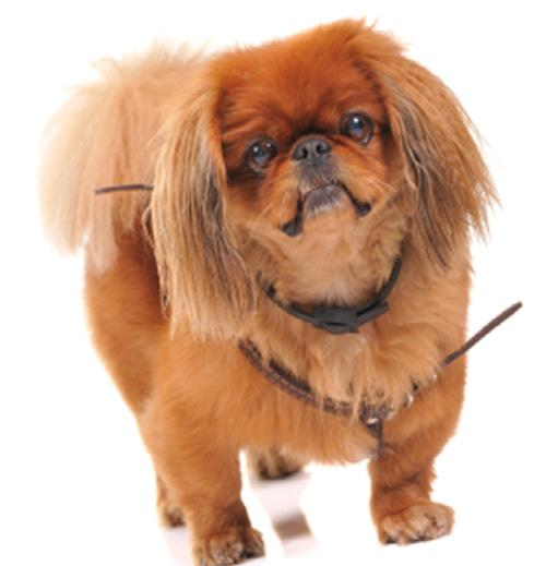 Do dogs. Do attend obedience classes with your older Pekingese before going into play dates with other tug on their leash or yell at them when another dog comes into view.