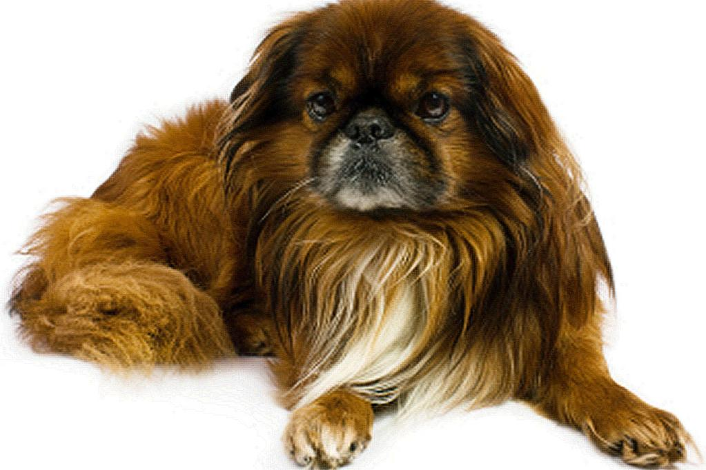 Caring for a Pekingese With any breed, there are common problems that you should watch for.