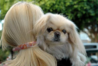 Health Caring for a Pekingese Pekes normally live around 12 years, sometimes much longer, depending on their overall health. They are to be an inside dog and not to be kept outside constantly.