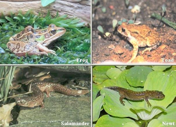 Amphibians Cold-blooded (ectothermic) breathe with gills as young and breathe with lungs as adults goes through metamorphosis lay jelly-like eggs EXAMPLES: