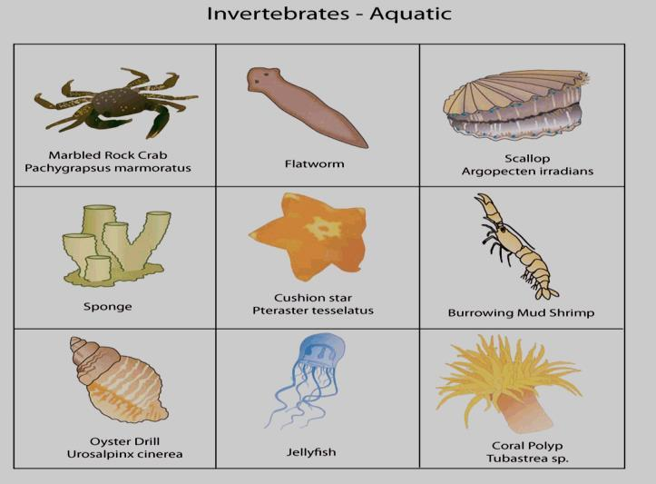 Examples of invertebrates include: Sponges Very simple animals with many pores (holes)