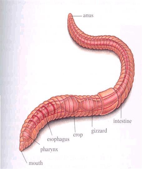 Long digestive tube runs down