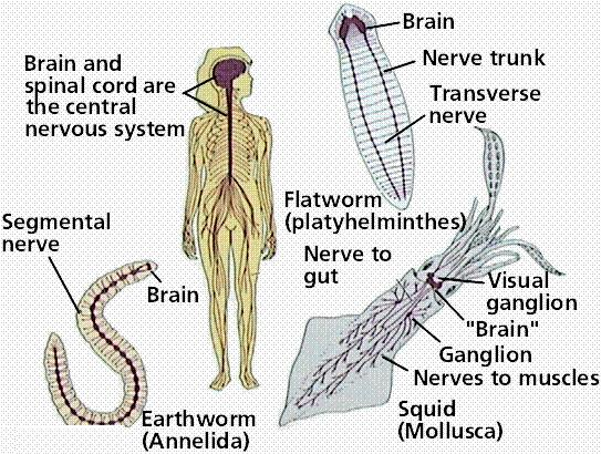They have a nervous system