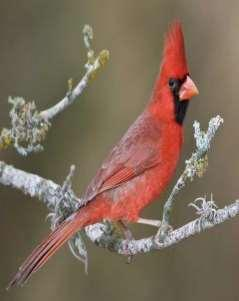cardinal, common grackle,