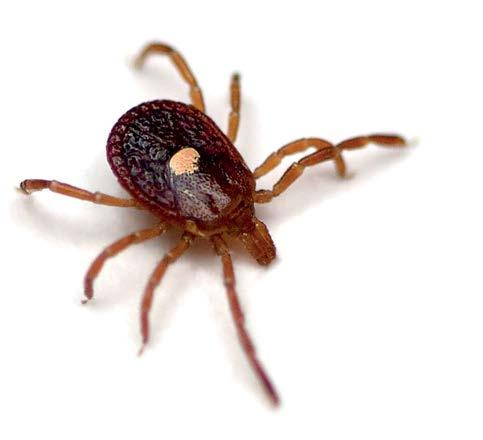 Black-legged (deer) ticks 10 Ixodes scapularis Associated with 11 : Lyme disease Anaplasmosis American dog ticks 10 Dermacentor variabilis Associated with 11 : Rocky Mountain