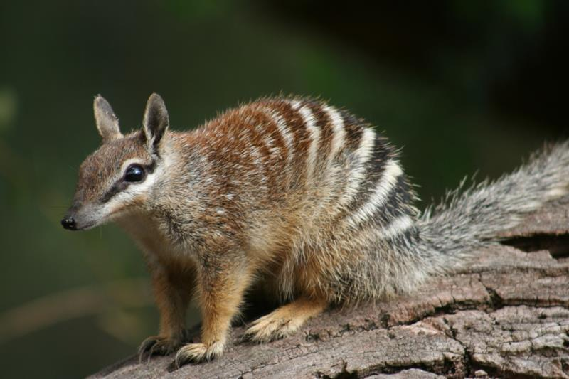 Numbat The numbat is a small carnivorous marsupial. It is recognized by its slender, graceful body reddishbrown hair with stripes taking over its back. The numbats diet consists mainly of termites.
