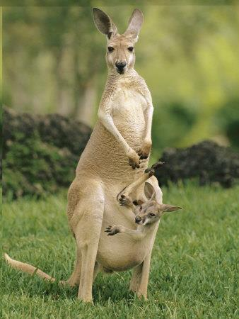 Kangaroos Kangaroos are large marsupials that are found only in Australia. They are identified by their muscular tails, strong back legs, large feet, short fur and long, pointed ears.