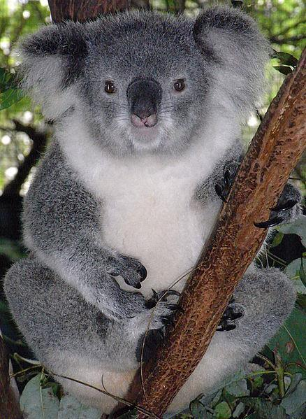 Koalas Koalas are mostly nocturnal. They spend up to 20 hours a day sleeping or resting in trees. Although they look like small bears, Koalas are actually marsupials.
