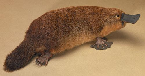 Platypus The platypus is considered to be a variety of different species: 1 a duck for its bill and webbed feet. 2) a beaver for its tail. 3) an otter for its body and fur.