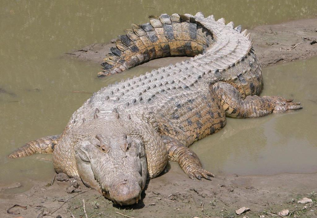 Saltwater Crocodile Saltwater Crocodiles are the largest living reptiles on Earth. Adult males are able to grow up to 17 feet and can weigh over 1,000 pounds.
