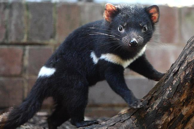 Tasmanian Devil Tasmanian devils are small marsupials with rat-like features, sharp teeth and coarse black or brown fur. Tasmanian Devils are nocturnal animals.