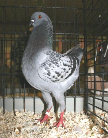 Some top birds of the entered 16 German Modena s: two young blue chequer cock s