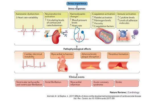Figure 1. Schematic model of the physiological and pathophysiological effects of stress that contribute to the triggering of cardiovascular events.