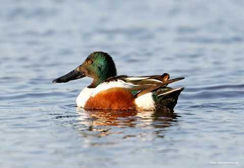 Anas clypeata (Northern Shoveler) Family: Anatidae (Ducks and Geese) Order: Anseriformes (Waterfowl) Class: Aves (Birds) Fig. 1. Northern shoveler, Anas clypeata. [http://www.ducks.