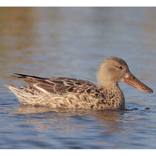 REFERENCES Afton, A. D. (1977). Aspects of Reproductive Behaviour in the Northern Shoveler. Afton, A. D. (1980). Factors affecting Incubation Rhythms of Northern Shovelers. The Condor. 82: 132-137.