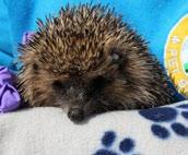 Peak time for births is June but mature females can have a second litter around September. We found one little hedgehog that had collapsed at a riding school. Poor little thing was starving.