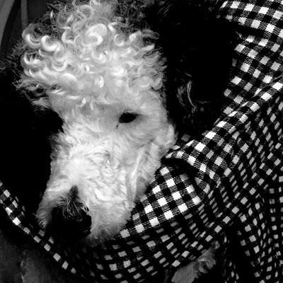 Off Bob went from home to home landing in the arms of Poodle Rescue New England for fostering and feasting unlimited love and attention surrounded by toys and minis,