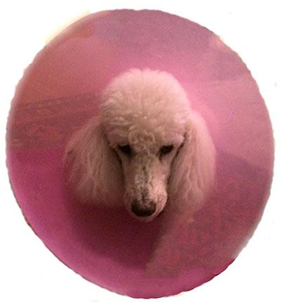 granted permission for PRNE to reprint one of her informative articles in each issue of Renaissance Poodles. Dr.