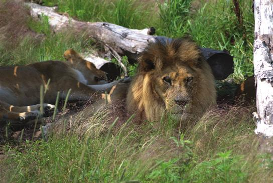 If We Build It, They Will Come Aslan and Shanti Deva, lions The New Big Cat Habitat It s the hustle and bustle of summer and even though we love the warmer weather, it s never enough time to get all