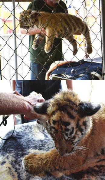 Say No to Cub Petting Sadly, the majority of tigers we re called on to rescue started their lives in the cub petting industry. They were bred for one reason to make a profit while they re young.