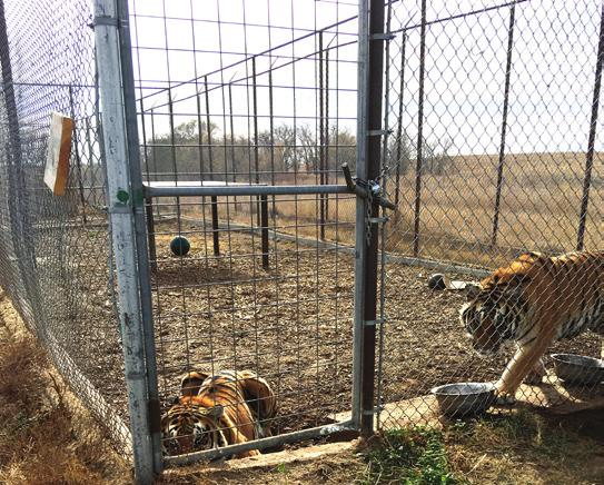 Be an Advocate The Big Cat Public Safety Act Above: tigers that were rescued from a Colorado Facility One of the most important ways you can help end the suffering of big cats in the U.S. is to encourage your Congressional representative to vote FOR the Big Cat Public Safety Act.