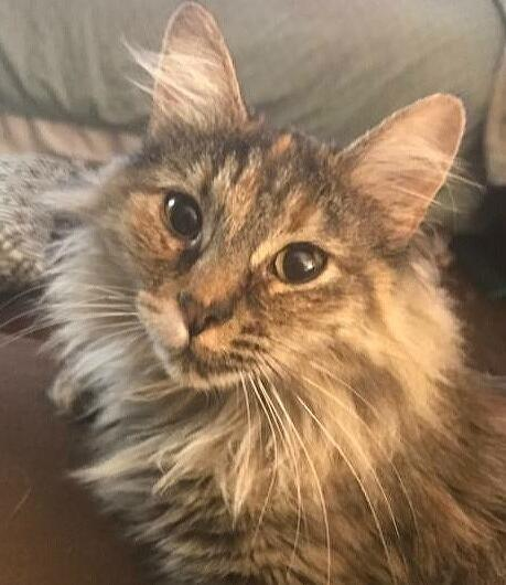 My adoption fee is $100 For more information on this beautiful girl contact Sandy A at 816-204-6506 Midnight, female, DMH Midnight and her siblings were surrendered when her family moved to Omaha.