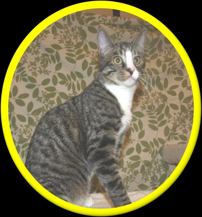 Darby, male, gray tabby Darby is a sweet little boy when he wants to be, he absolutely loves to play with anything that moves - a scrap of paper, a ball of fur shed by the dog, feathers, you name it.