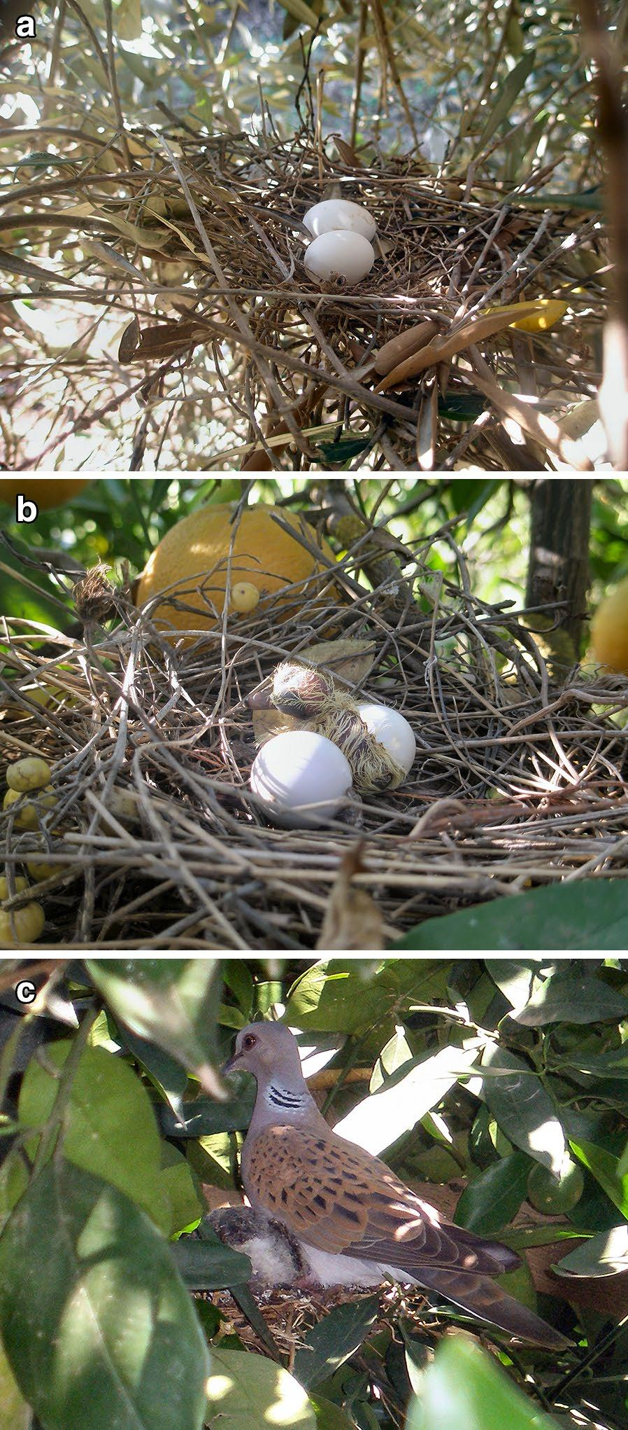 Page 5 of 11 Fig. 2 a A nest of a Turtle Dove with two eggs on an olive tree. b A nest of Turtle Dove with a newly hatched chick on an orange tree.