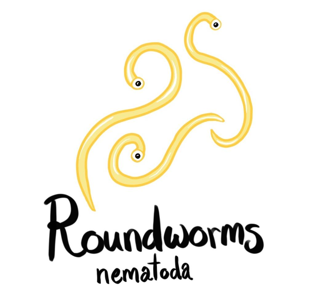 nutrients already digested by its host! Roundworms (Phylum Nematoda) have a long, smooth, unsegmented body.
