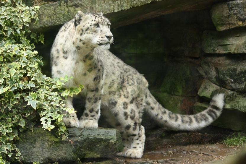 13. SNOW LEOPARD The habitat you would find snow leopards in is Try to add at least 3 annotations to the snow leopard below to explain what adaptations it has to help it live in its habitat.