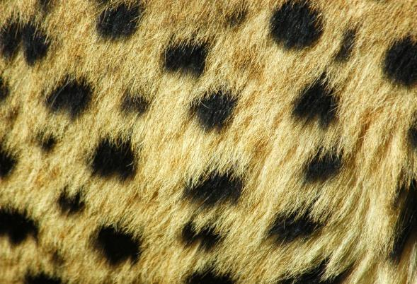 2. CHEETAH What habitat do these cats live in? Can you spot this pattern on the cheetah?