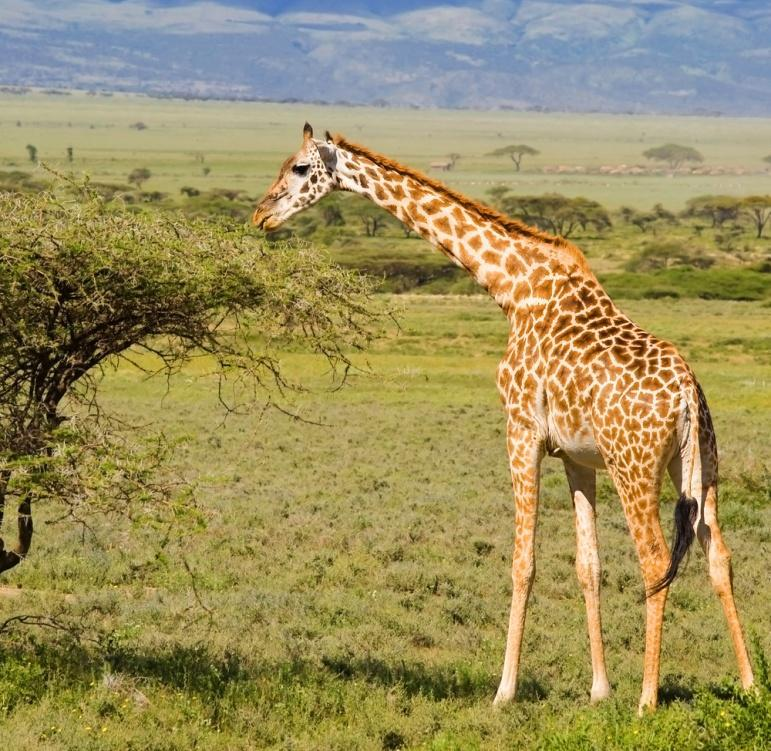5. GIRAFFE This is the tallest land animal in the world. What habitat does it live in?