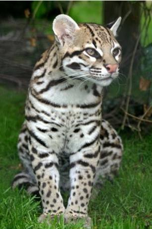 6. OCELOT What habitat does it live in? In what two ways is an ocelot similar to a soldier? 1.