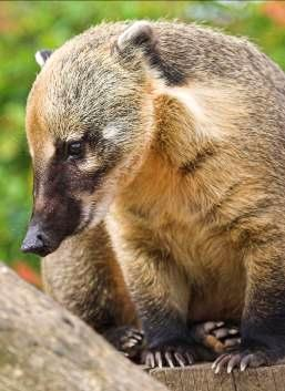 8. RING-TAILED COATI What type of habitat does it live in? Can you identify and explain two adaptations that help it to live there?