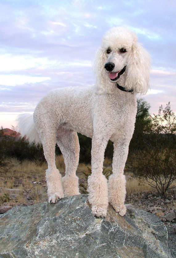 Poodle Poodles can be a very good companion and are very loyal to their owners. They belong to a quiet breed of dogs that has a naturally curly fur.