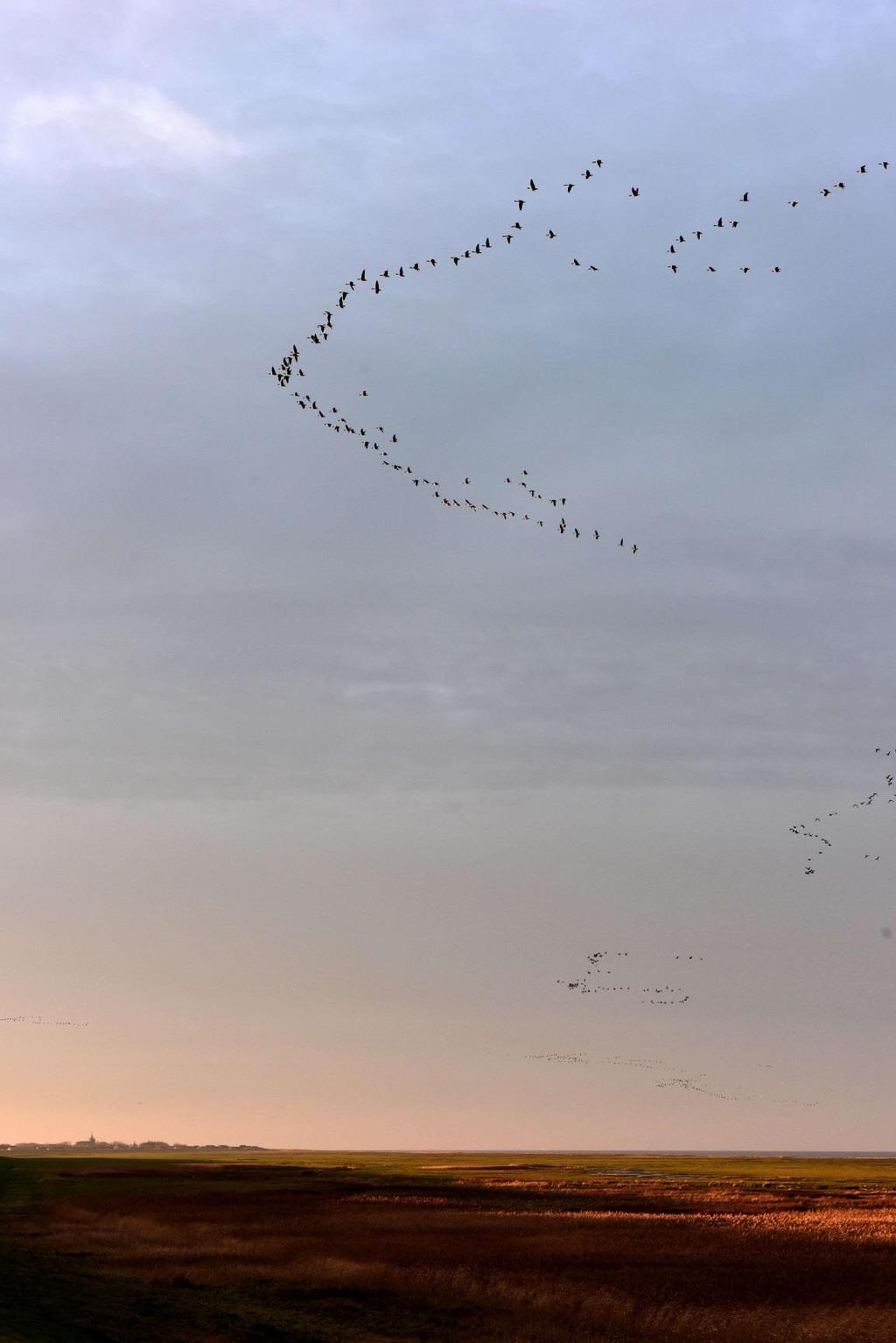 Morning flight of Pink-footed Geese, Ballum