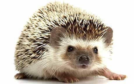 Role of other animals - Hedgehog (Erinaceous europaeus) - Highly infested with ticks: Ireland study - >400L, 60N on 1 adult - Also infested with I.